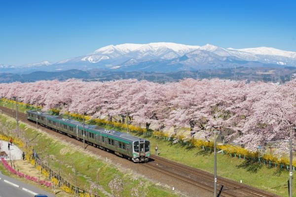 Sakura Series #1: Cherry blossom spots with snowy mountain backdrop